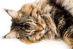 缅因睡觉在白色背景的树狸猫 免版税库存照片