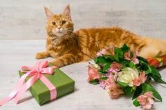 缅因说谎在与col的木桌上的浣熊品种幼小红色猫  库存图片
