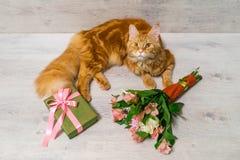 缅因说谎在与col的木桌上的浣熊品种幼小红色猫  库存照片
