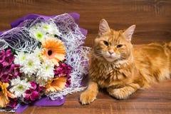 缅因说谎在与col的木桌上的浣熊品种幼小红色猫  免版税库存照片