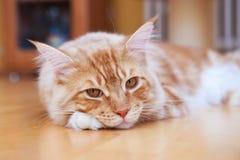 缅因说谎在地板上的浣熊小猫 免版税库存照片