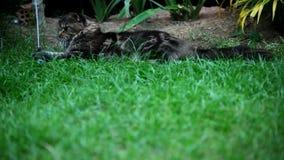缅因说谎在草和戏剧的树狸猫 股票视频