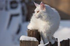 缅因coone白色猫在冬天和雪 免版税库存图片