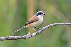 缅甸人伯劳拉尼厄斯泰国的collurioides鸟 库存图片