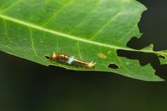 缅甸掠夺或暹罗掠夺Papilio mahadeva,Papilio铸工mahadeva毛虫 图库摄影