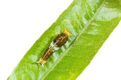 缅甸掠夺或暹罗掠夺Papilio mahadeva,Papilio铸工mahadeva毛虫 免版税库存照片
