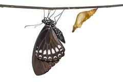 缅甸掠夺或暹罗掠夺Papilio mahadeva,Papilio铸工mahadeva蝴蝶 免版税图库摄影