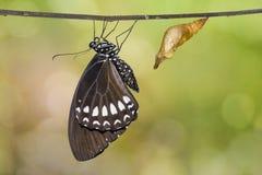 缅甸掠夺或暹罗掠夺Papilio mahadeva,Papilio铸工mahadeva蝴蝶 免版税库存照片