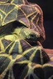 缅甸星形草龟 免版税库存照片