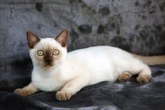 缅甸的小猫 免版税库存照片
