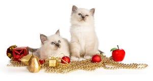 缅甸的神圣的小猫有圣诞节装饰的 免版税库存图片