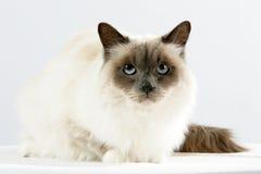缅甸的神圣的猫 免版税库存图片