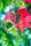 缅甸的美好的红色自豪感在森林Amherstia缅甸的nobilis,亦称自豪感, t的树开花(Amherstia nobilis) 免版税图库摄影