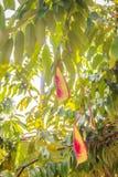 缅甸的美好的红色自豪感在森林Amherstia缅甸的nobilis,亦称自豪感, t的树开花(Amherstia nobilis) 免版税库存照片