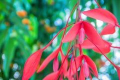 缅甸的美好的红色自豪感在森林Amherstia缅甸的nobilis,亦称自豪感, t的树开花(Amherstia nobilis) 库存图片