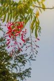 缅甸的美好的红色自豪感在森林Amherstia缅甸的nobilis,亦称自豪感, t的树开花(Amherstia nobilis) 库存照片