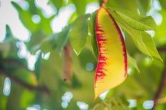 缅甸的美好的红色自豪感在森林Amherstia缅甸的nobilis,亦称自豪感, t的树开花(Amherstia nobilis) 图库摄影