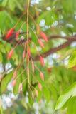 缅甸的美好的红色自豪感在森林Amherstia缅甸的nobilis,亦称自豪感, t的树开花(Amherstia nobilis) 免版税库存图片