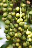 缅甸的葡萄 库存照片