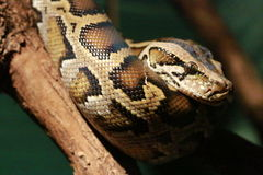 缅甸的Python 库存图片