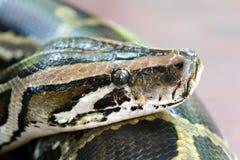 缅甸的Python 免版税库存照片