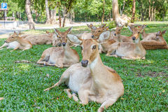 缅甸眉头鹿角的鹿 库存图片