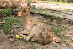 缅甸眉头鹿角的鹿 免版税库存照片