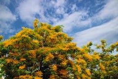 缅甸类似桃花心木和蓝天背景的padauk木头 免版税库存照片