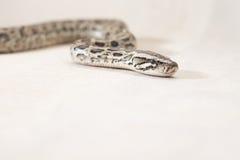 缅甸Python蛇 免版税库存照片