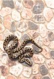 缅甸Python (Python molurus bivittatus)在后院 免版税库存照片