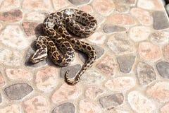 缅甸Python (Python molurus bivittatus)在后院 免版税图库摄影