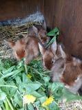 缎吃蒲公英的小兔子 库存图片