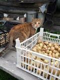 编写村庄收获和村庄室外猫 库存照片