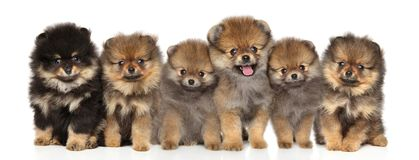 编组摆在白色背景的波美丝毛狗小狗 免版税图库摄影