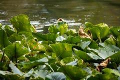 编组深绿lilypads在夏天 图库摄影