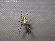 编织网的Scarry蜘蛛 图库摄影