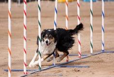 编织通过杆的三色博德牧羊犬 免版税图库摄影