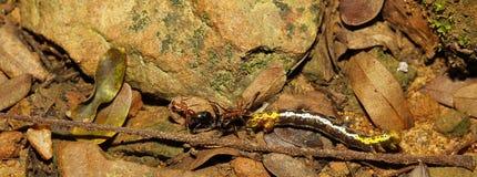 编组攻击一只蠕虫本质上的红色蚂蚁 库存照片