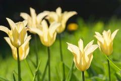 编组并且关闭生长在庭院里的黄色百合开花的唯一美丽的郁金香 图库摄影