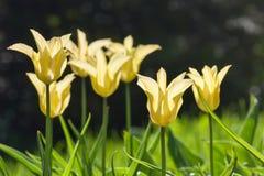 编组并且关闭生长在庭院里的黄色百合开花的唯一美丽的郁金香 免版税库存照片