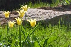 编组并且关闭生长在庭院里的黄色百合开花的唯一美丽的郁金香 库存照片