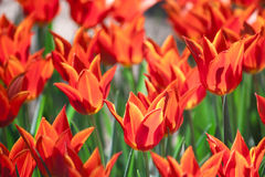 编组并且关闭红色桔子百合开花的唯一美丽的郁金香 免版税图库摄影