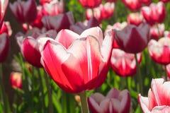 编组并且关闭红色白色百合开花的唯一美丽的郁金香 免版税库存照片
