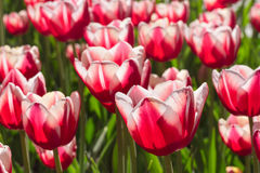 编组并且关闭红色白色百合开花的唯一美丽的郁金香 免版税图库摄影