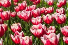 编组并且关闭红色白色百合开花的唯一美丽的郁金香 库存图片