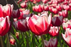 编组并且关闭红色白色百合开花的唯一美丽的郁金香 图库摄影