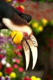 缠绕的犀鸟Rhyticeros undulatus或酒吧pouched缠绕了犀鸟 免版税库存照片