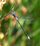 缺乏蜻蜓的绿宝石 免版税库存照片