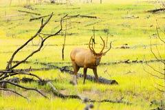缺乏被盯梢的鹿班夫国家公园加拿大 免版税库存图片