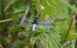 缺乏追赶者蓝色蜻蜓从后面 库存照片
